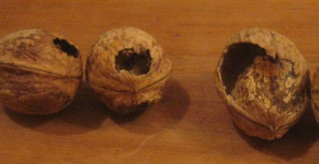photo of deformed walnuts