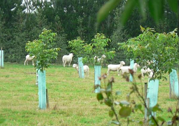 photo of sheet grazing grass between well-protected young walnut trees