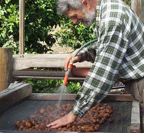 Nick washing walnuts